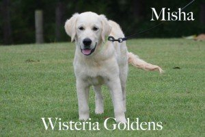 Trained Puppies for sale. English Cream Golden Retriever Misha was born 4-4-2014 Zoey & Thor Wisteria Goldens