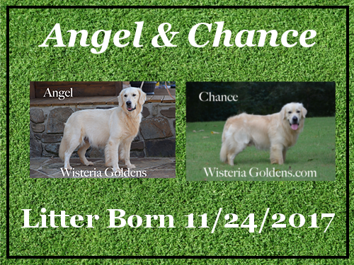 Angel Litter Born 11-24-2017 English Cream Golden Retriever puppies for sale Wisteria Goldens BREDwithHEART