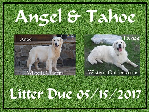 available puppies Angel and Tahoe litter due