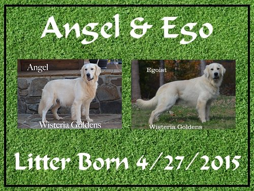 English Cream Golden Retriever Angel and Ego Litter Born 4-27-2015