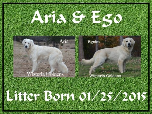 English Cream Golden Retriever puppies for sale Aria and Ego litter born 1-25-2015 4 girls and 4 boys