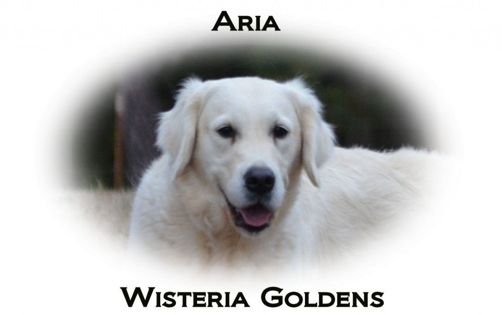 Aria-Wisteria-Musical-Solo-full-english-creme-goldens-retrievers-wisteria-goldens
