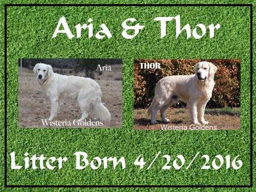 Aria/Thor Litter Born 4-20-2016. 2 boys. Currently we have 1st pick male available. Ready for new homes 6-15-2016. Newborn pictures coming soon. English Cream Golden Retriever Puppies for Sale Wisteria Goldens