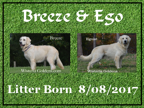 available puppies wisteria goldens english cream golden retriever