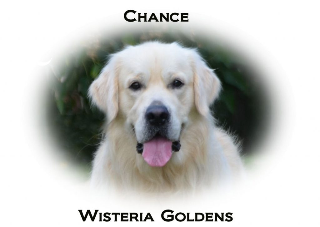 Chance English Cream Golden Retriever Wisteria Goldens