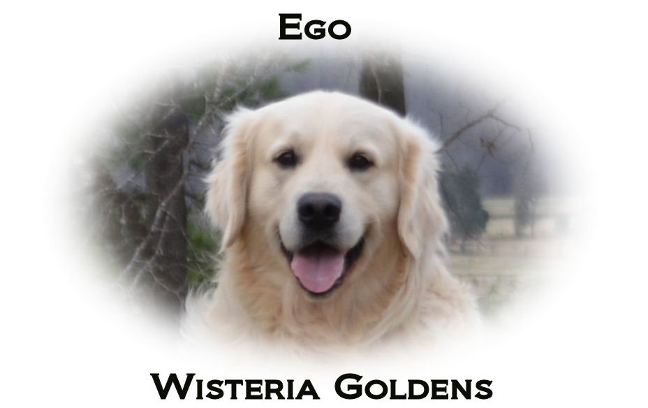 Ego-headshot-full-english-creme-golden-retrievers-wisteria-goldens