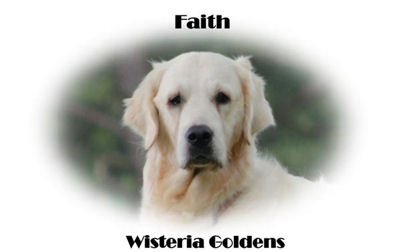 Faith-HS-faith-full-english-creme-golden-retriever-wisteria-goldens