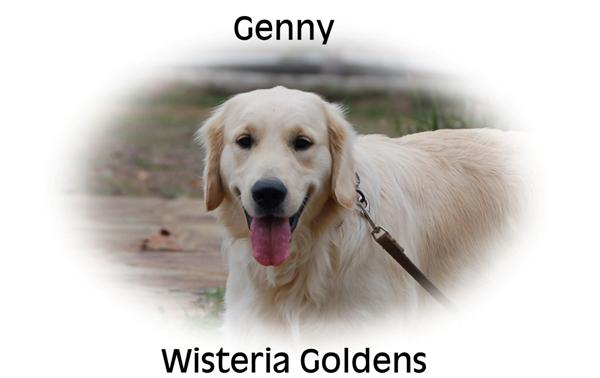 Genny-Fuzz-genny-full-english-creme-goldens-retrievers-wisteria-goldens