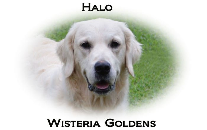 Halo-HS-faith-full-english-creme-golden-retriever-wisteria-goldens
