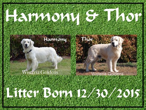 Harmony/Thor Litter Born 12/30/2015. 8 Boys and 2 Girls. English Cream Golden Retriever puppies for sale