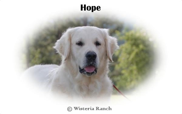 Hope-HS-hope-full-english-cream-golden-retriever-wisteria-goldens