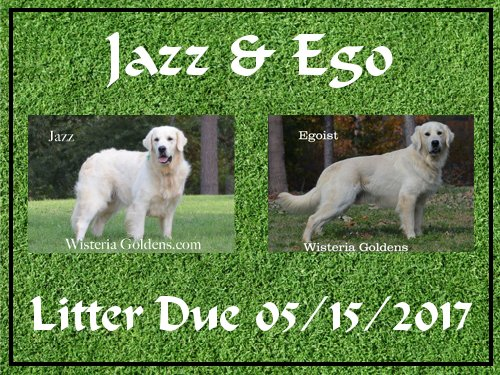available puppies Jazz and Ego Litter Due