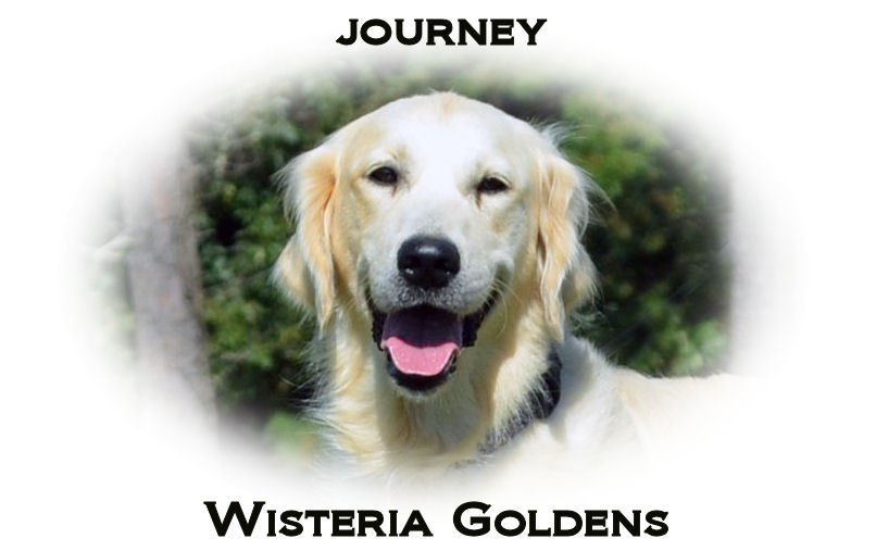 Journey_HS_full-english-creme-golden-retriever-wisteria-goldens