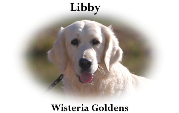 Libby-HS-libby-full-english-creme-retriever-wisteria-goldens