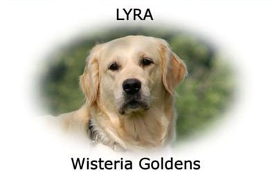 Lyra-HS-lyra-full-english-creme-golden-retriever-wisteria-goldens
