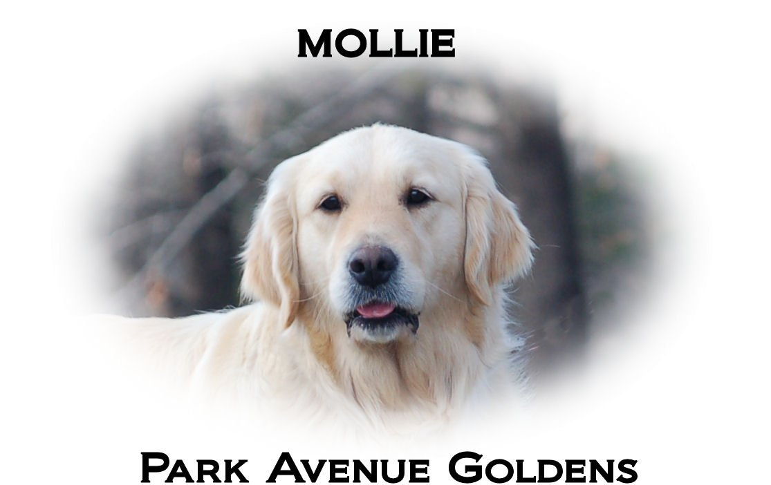 Mollie-Headshot-mollie-full-english-cream-golden-retriever-wisteria-goldens