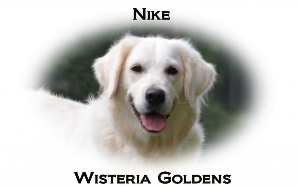 Nike-full-english-creame-golden-retriever