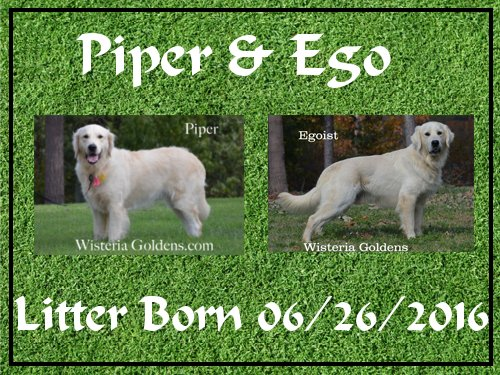 Piper Litter Piper/Ego Litter Born 6/26/16 7 girls and 5 boys. English Cream Golden Retriever puppies for sale Wisteria Goldens