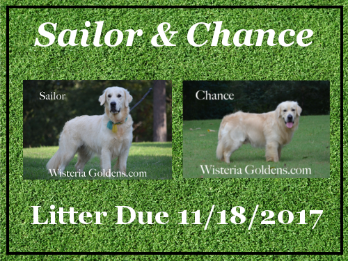 Available Puppies Sailor/Chance – Litter Due 11/18/2017 Wisteria Goldens English Cream Golden Retriever puppies for sale