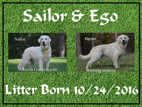 Sailor Litter Born 10-24-2016 Wisteria Goldens English Cream Golden Retriever Puppies for sale
