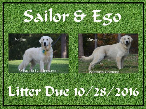 Available Puppies #availablepuppies #englishcreamgoldenretriever #wisteriagoldens