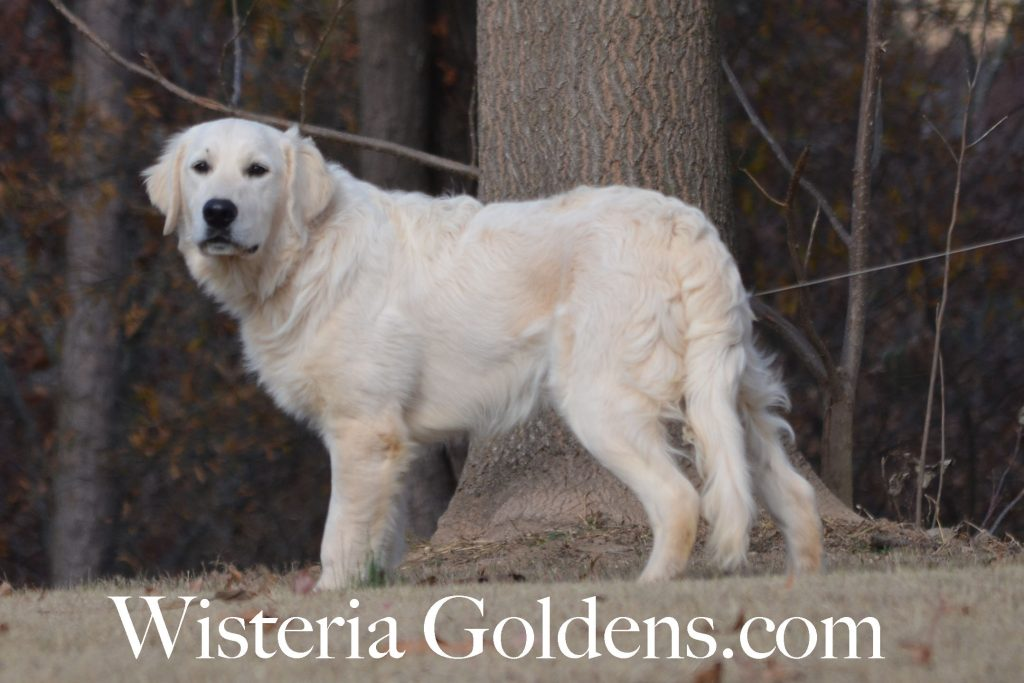 Trained Puppies Charlie English Cream Golden Retriever puppies for sale Wisteria Goldens