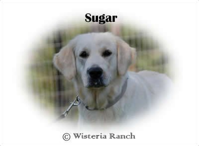 Sugar-HS-sugar-full-english-creme-goldens-retriever-wisteria-goldens