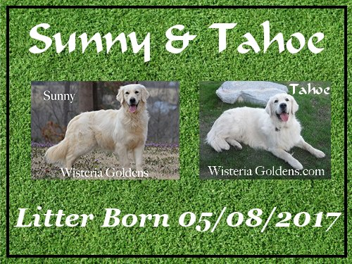 Sunny Litter Previous Puppies Sunny/Tahoe Litter Born 05-08-2017 8 girls and 3 boys. English Cream Golden Retrievers for Sale Wisteria Goldens #SunnyLitter #TahoeLitter #puppiesforsale #WisteriaGoldens