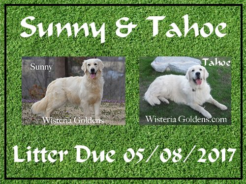 sunny litter due 05/08/2017 wisteria goldens english cream golden retriever puppies for sale