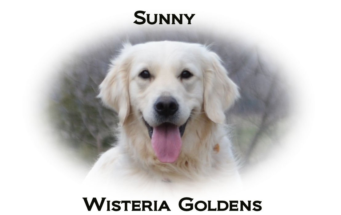 Sunny-headshot-full-english-creme-golden-retriever-wisteria-goldens