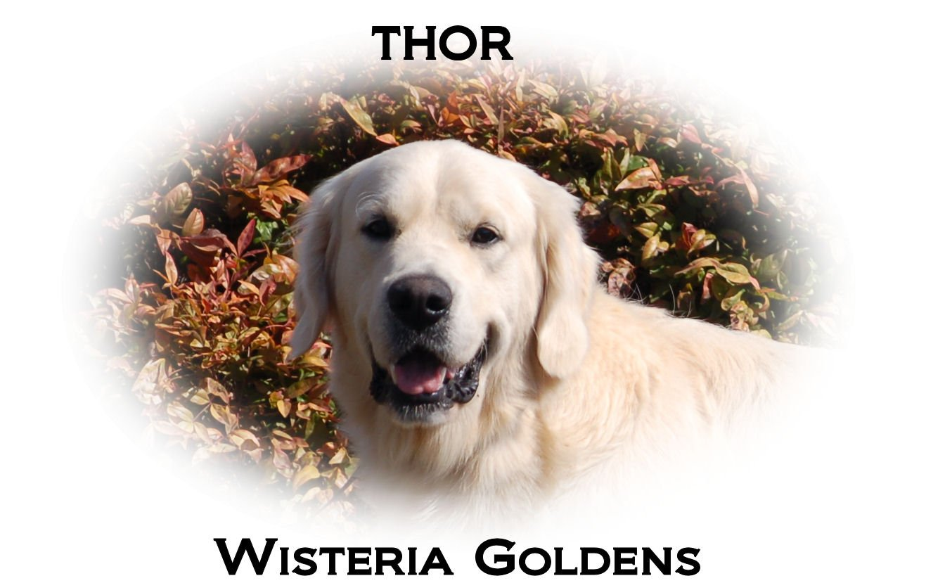 Thor - Santana Butterfly z Karczewskich Szuwarow full-english-creme-goldens-retrievers-wisteria-goldens