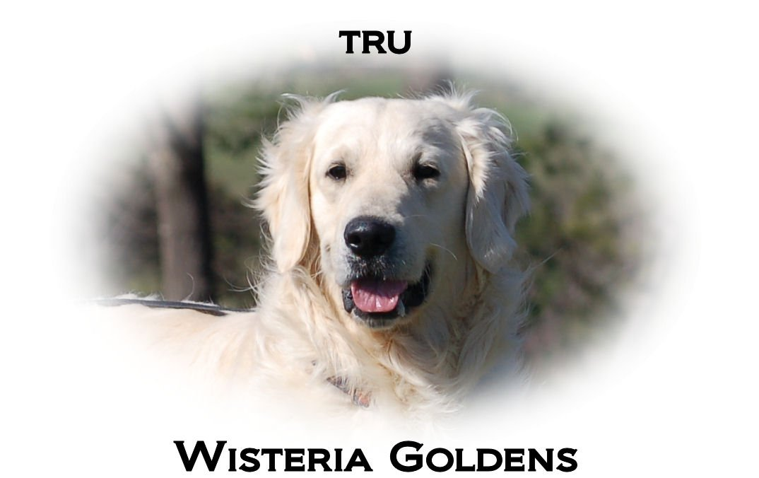 Tru-HS-full-english-cream-golden-retriever-wisteria-goldens