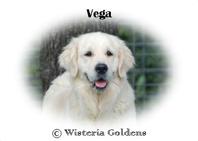 Vega-HS-vega-full-english-creme-goldens-retriever-wisteria-goldens
