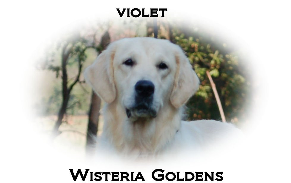 Violet-HS-violet-full-english-cream-golden-retriever-wisteria-goldens