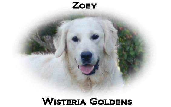 Zoey-0017-HS-zoey-full-english-creme-golden-retriever-wisteria-goldens
