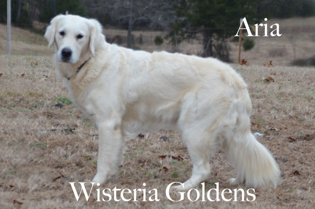 Aria English Cream Golden Retriever
