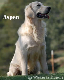 Aspen-SR2-aspen-full-english-creme-golden-retrievers-wisteria-goldens
