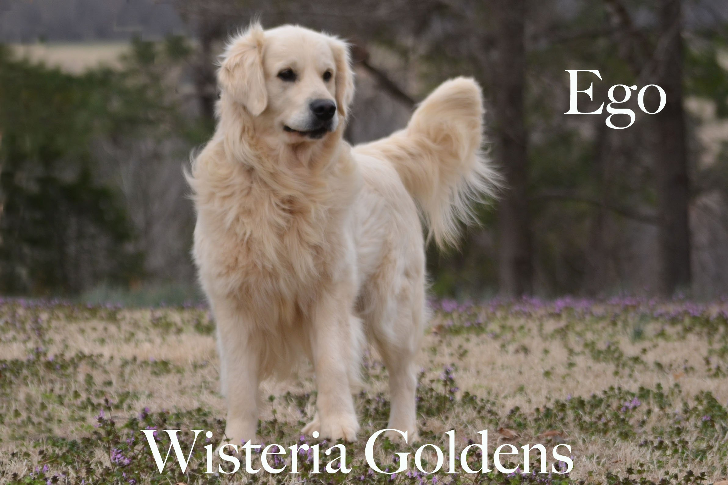 Ego_0069-full-english-creme-golden-retrievers-wisteria-goldens
