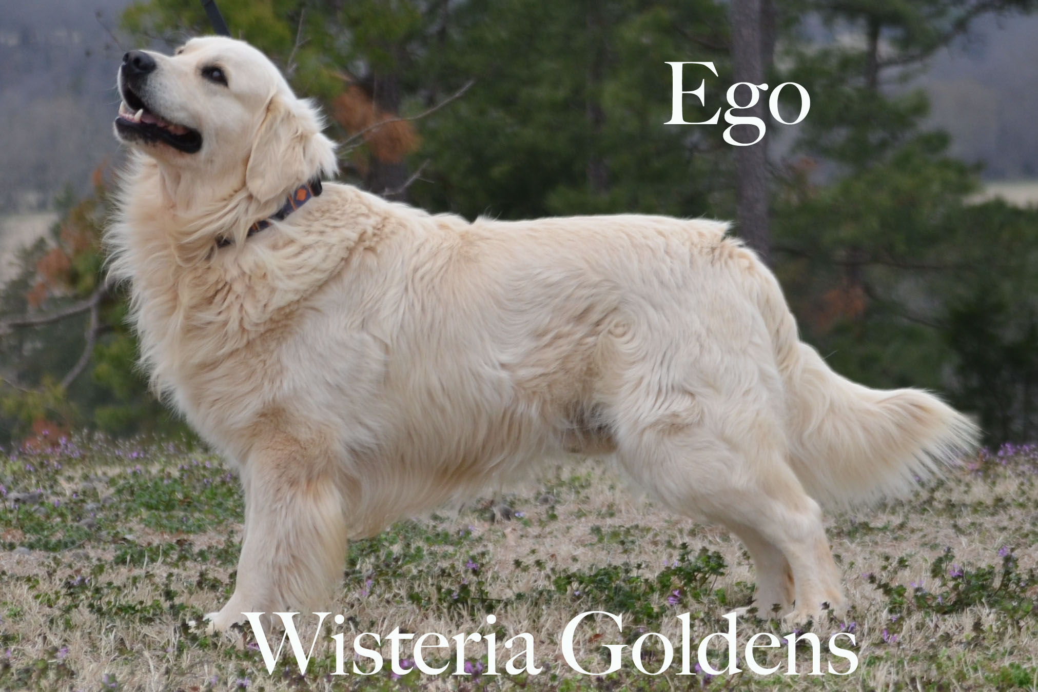 Ego_0100-full-english-creme-golden-retrievers-wisteria-goldens