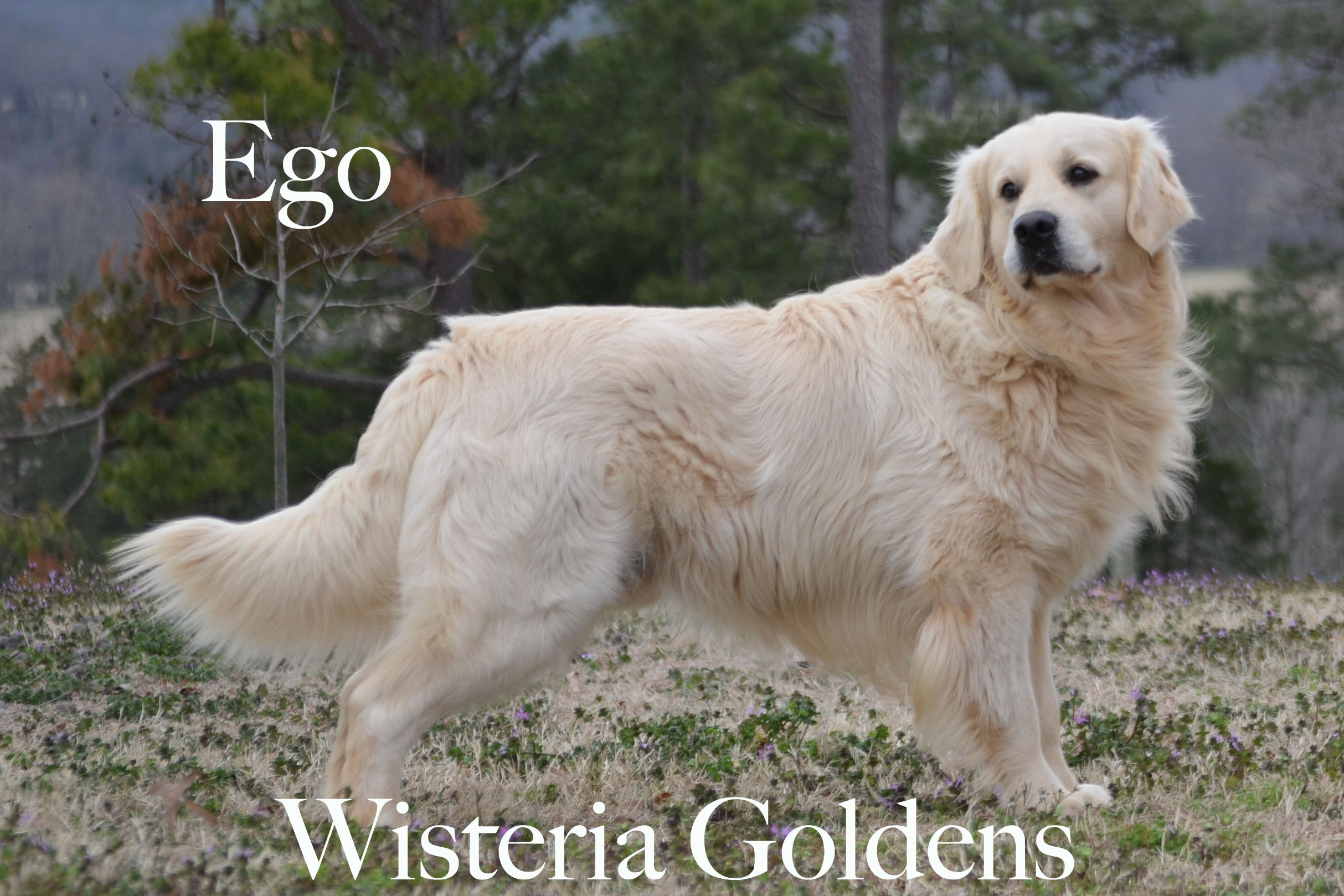 Ego_0114-full-english-creme-golden-retrievers-wisteria-goldens