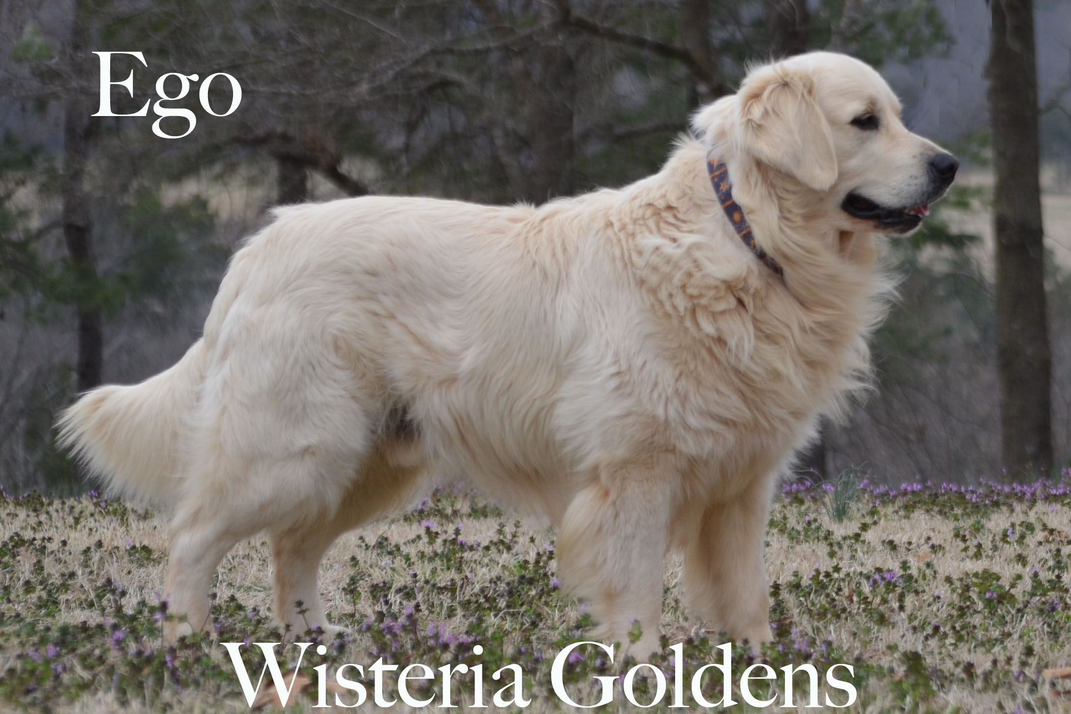 Ego_0121-full-english-creme-golden-retrievers-wisteria-goldens