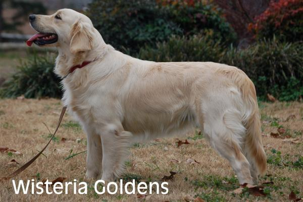 Genny-1-genny-full-english-creme-goldens-retrievers-wisteria-goldens