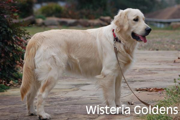 Genny-2-genny-full-english-creme-goldens-retrievers-wisteria-goldens