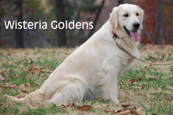 Genny-3-genny-full-english-creme-goldens-retrievers-wisteria-goldens