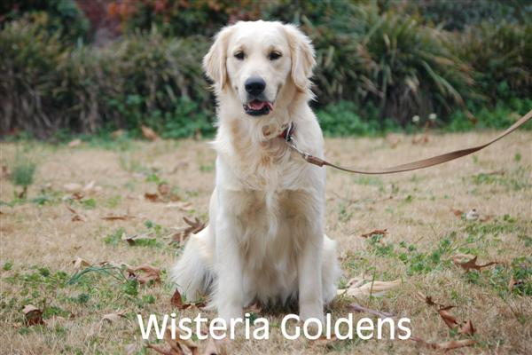 Genny-4-genny-full-english-creme-goldens-retrievers-wisteria-goldens