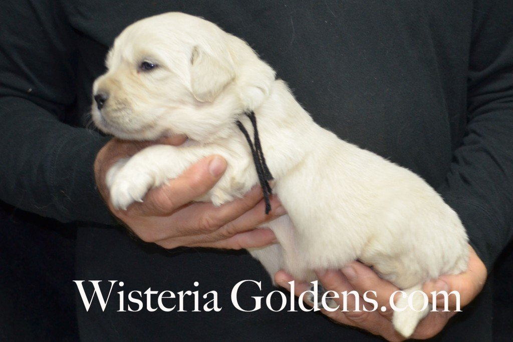 Black Boy - 4.6 lbs Halo/Ego Litter Born 04/08/2015 2 girls and 3 boys. English Cream Golden Retriever Puppies
