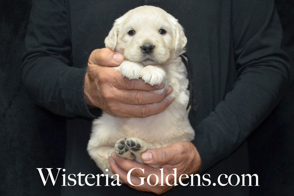 Black Boy - 6.0 lbs 4 weeks pictures Halo-Ego litter born 4-08-2015 English Cream Golden Retriever puppies for sale. Wisteria Goldens