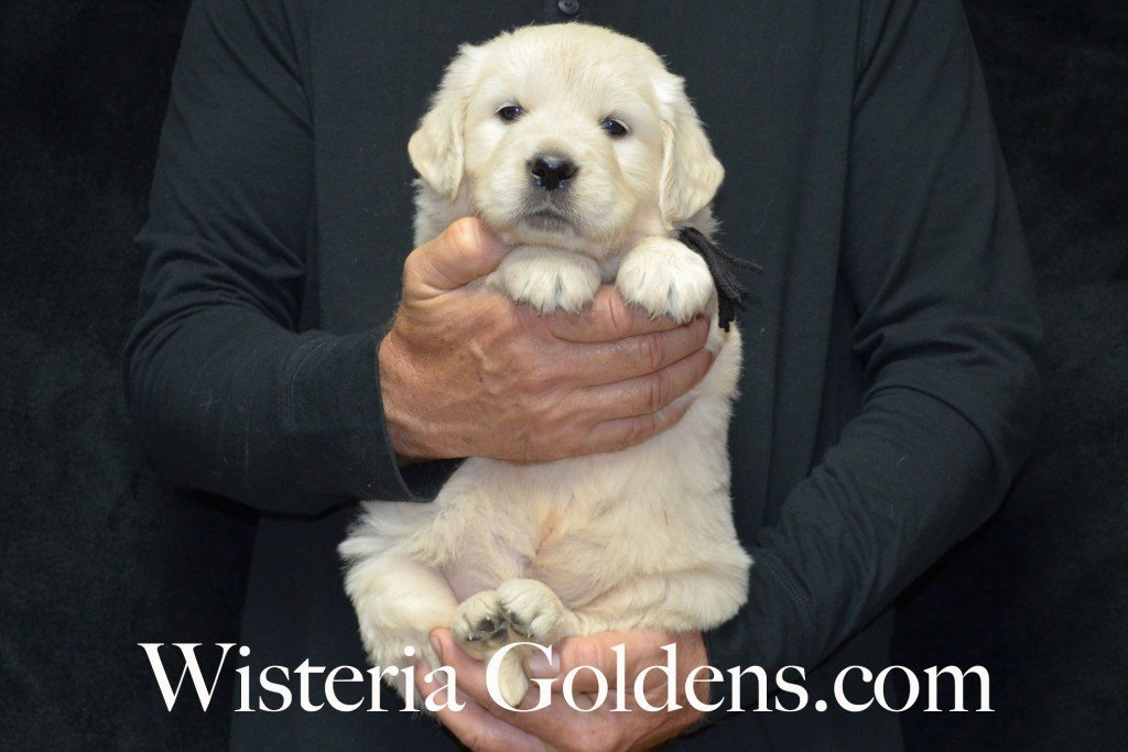 Black Boy - 7.4 lbs Halo/Ego — Born 4/08/2015. 2 girls and 3 boys. Contact us for purchasing your own Wisteria Golden English Cream Golden Retriever puppy! #englishcreamgoldenretriever #puppiesforsale