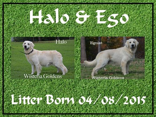 Halo and Ego Litter Born 4-08-2015 English Cream Golden Retriever puppies for sale