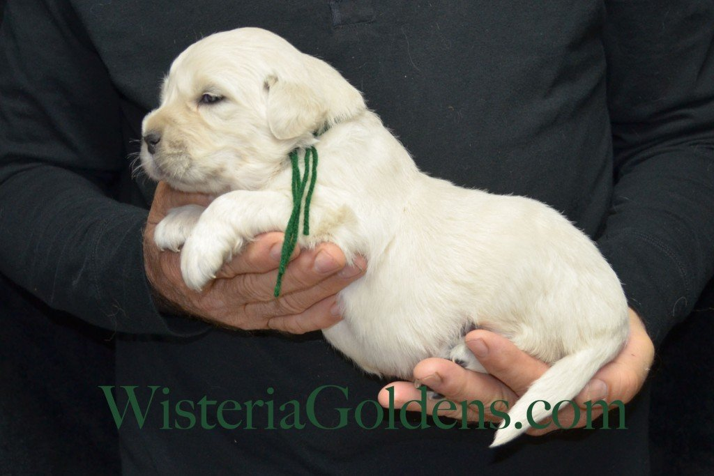 Green Boy - 5.0 lbs Halo/Ego Litter Born 04/08/2015 2 girls and 3 boys. English Cream Golden Retriever Puppies